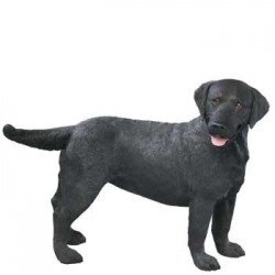 Labrador Retriever, zwart